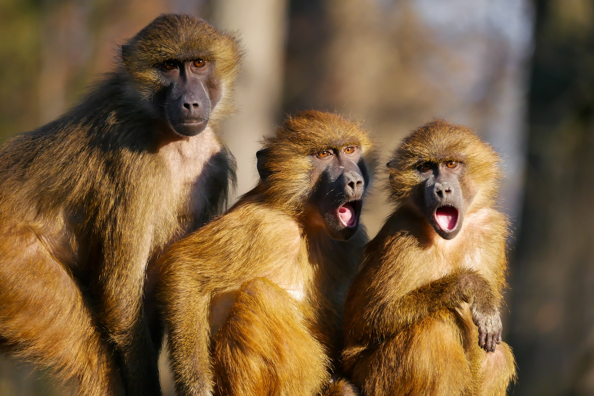 3 monkeys one with mouth closed two with mouth open in surprise
